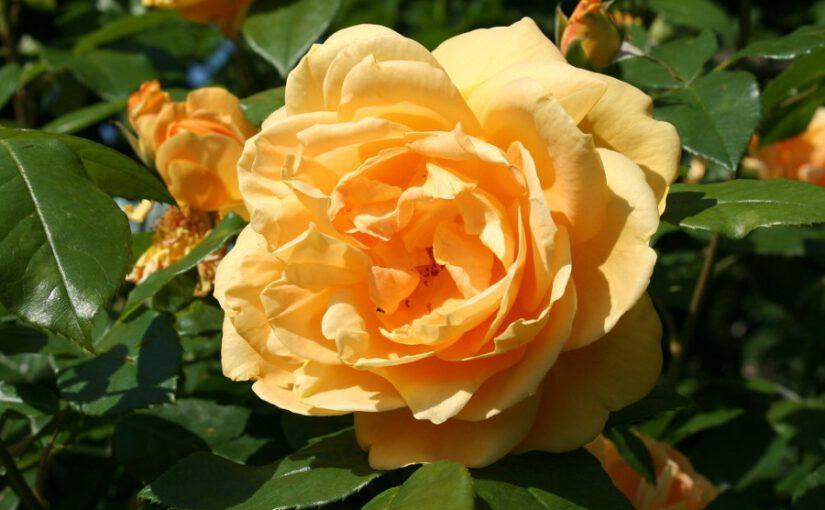 Czy warto postawić na sadzonki róż rosen tantau?